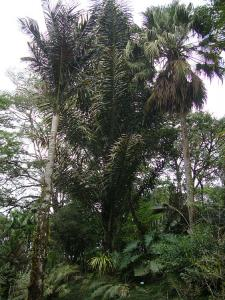 Arenga pinnata_opt.jpg